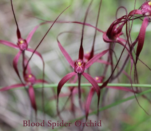 Red blood spider orchids in Goomalling WA