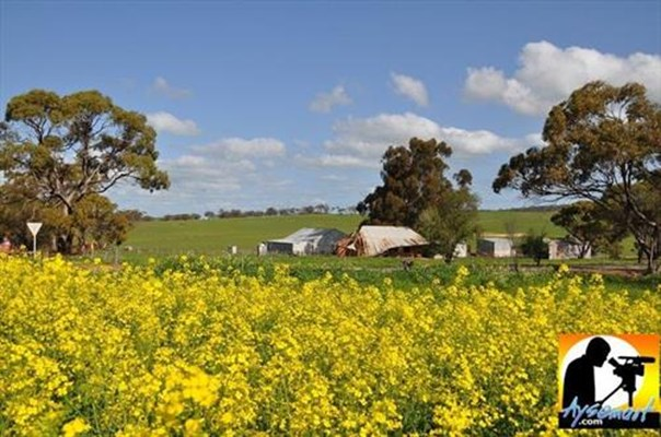 Scenery - Canola with mudbrick building