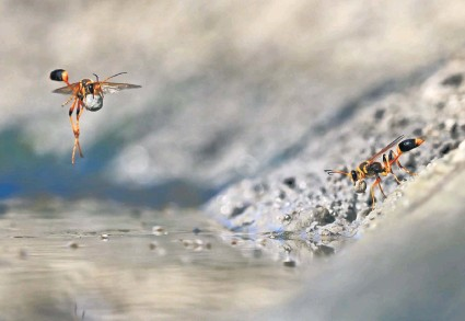 Wasps in the mud on a hot summer day at Walyormouring Nature Reserve